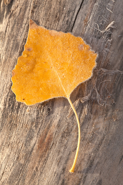A lone cottonwood leaf (Populus fremontii) thaws from an overnight freeze at the Hassyampa Nature Preserve near Wickenburg