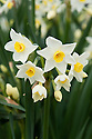 Daffodil (Narcissus 'Brentswood'), a Division 8 Tazetta variety, mid February.