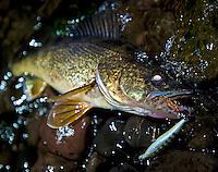 A Walleye caught night fishing on Lake Oneida.