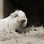 Photograph by Isa Leshko, Violet, Potbellied Pig, Age 12