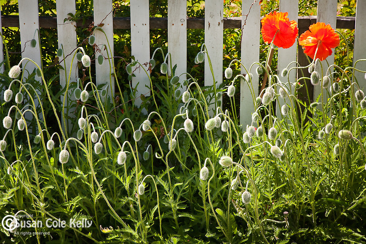 Poppy Garden in the village of Stonington, ME, USA