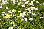 Close up of common daisy flowers, bellis perennis, growing in grass lawn in springtime, UK