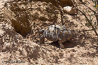 0609-1013  Desert Tortoise Retreating into Burrow to Escape Heat (Mojave Desert), Gopherus agassizii  © David Kuhn/Dwight Kuhn Photography