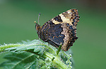 Small Tortoiseshell Butterfly, Aglais urticae, adult side view on stinging nettle.United Kingdom....