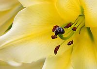 Orienpet Hybrid Lily 'Conca d' Or'