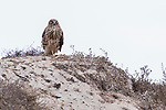Fiesta Island, San Diego, California; an adult female Northern Harrier perched on top of a sand dune on an overcast afternoon
