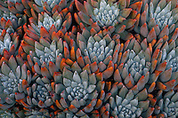 Dudleya greenei, Hoffman Point <br />
