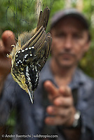 Oxford University ornithologist Dr Joseph Tobias mist-netting a male yellow-breasted Warbling Antbird (Hypocnemis cantator) in lowland tropical rainforest, Rio Amigos Conservation Concession, Madre de Dios, Peru