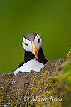 Horned Puffin (Fratercula corniculata), close-up, St. Paul Island, Pribilofs, Alaska, USA