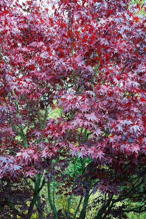 Autumn foliage of Acer palmatum 'Oshio-beni', early November.