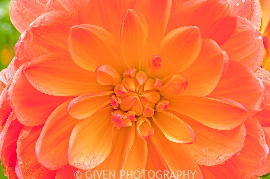 Dahlia flower, Washington