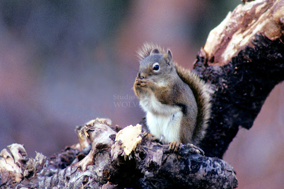 Chikaree of Douglas squirrel (Tamiasciurus douglasii)