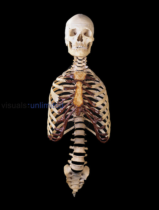 Front view of the human axial skeleton consisting of the skull, spine, and rib cage. It contains about 80 bones and acts to protect the brain, spinal cord, heart, and lungs.