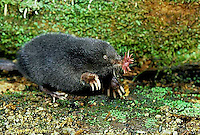 MB01-147z  Star-nosed Mole - adult searching for food - Condylura cristata