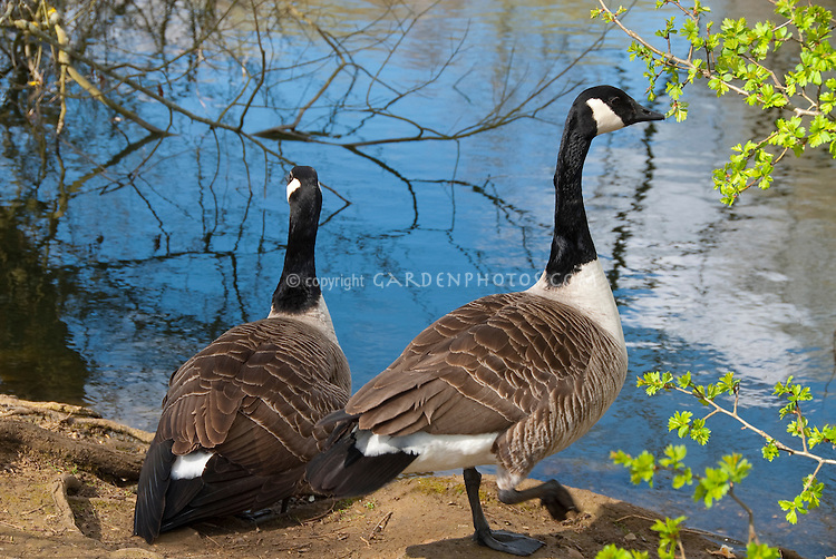 Canada Goose pair on land next to pond lake water in wetlands