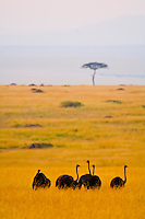 Female ostriches, Masai Mara National Reserve, Kenya