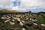 Sheep penned behind dry stone wall, El Hierro, Canary islands,Spain.