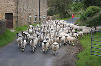 Moving Mule ewes near Chipping, Lancashire.