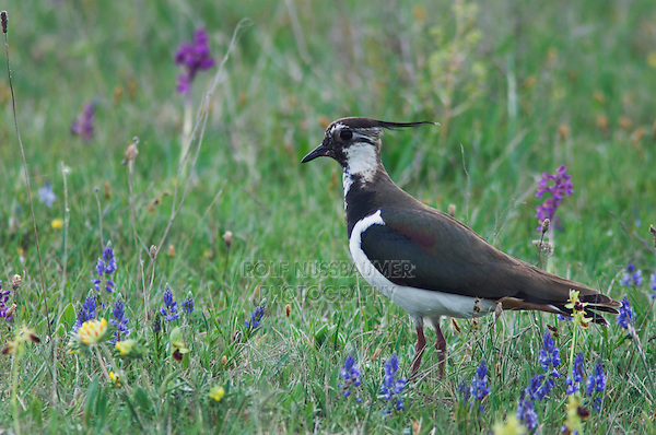 Northern Lapwing, Vanellus vanellus, adult in marsh, National Park Lake Neusiedl, Burgenland, Austria, Europe