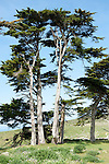 Tule Elk Reserve, Point Reyes National Seashore, California; a stand of Monterey Cypress (Cupressus macrocarpa) trees near the Pierce Point Ranch