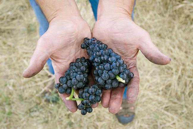 Biodynamic Pinot Noir grapes.