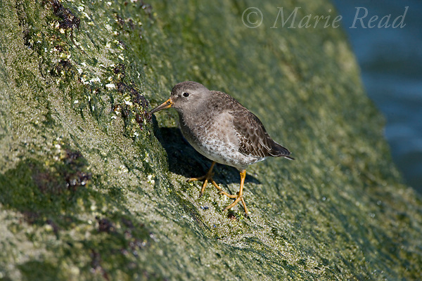 Purple Sandpiper (Calidris maritima) feeding from algae-covered rock, transitional plumage, Barnegat Inlet, New Jersey, USA