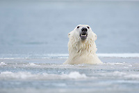 Polar bear swimming in the Beaufort Sea, Arctic, Alaska.