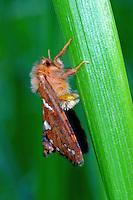 Heidekraut-Wurzelbohrer, Phymatopus hecta, Phimatopus rufa, Hepialus decorata, Gold Swift, Wurzelbohrer, Hepialidae, swift moths, ghost moths