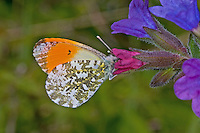 Aurorafalter, Männchen, Aurora-Falter, Anthocharis cardamines, orange-tip, male, L'Aurore