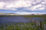 Idaho, South Central, Fairfield. Camas lilies and a fence on the Centennial Marsh under cloudy skies in spring.