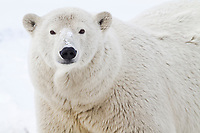 Polar bear portrait, Beaufort Sea on Alaska's arctic coast.