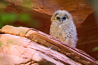 After leaving the nest, a Mexican Spotted Owl glides and flutters between the shade of canyon overhangs and the canopy of riparian trees. (Utah)