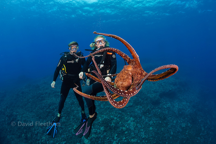 A couple (MR) diving and a day octopus, Octopus cyanea, Hawaii.