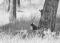 My favorite subject to photograph during the spring of 2015 was this black bear family.  The black sow and two little cinnamon cubs put on quite a show.<br />