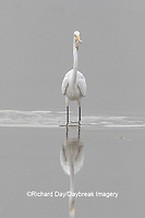 00688-02513 Great Egret (Ardea alba) feeding in wetland in fog, Marion Co., IL
