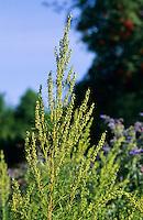 Estragon, Artemisia dracunculus (Herba dracunculi), Tarragon, dragon's-wort, French tarragon, Russian tarragon, silky wormwood, wild tarragon