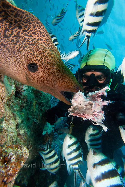 This diver is hand feeding a giant moray eel, Gymnothorax javanicus, Bequ Lagoon, Fiji.