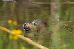 American beaver, Castor canadensis, wildlife, animal, habitat, Rocky Mountains, Colorado, USA