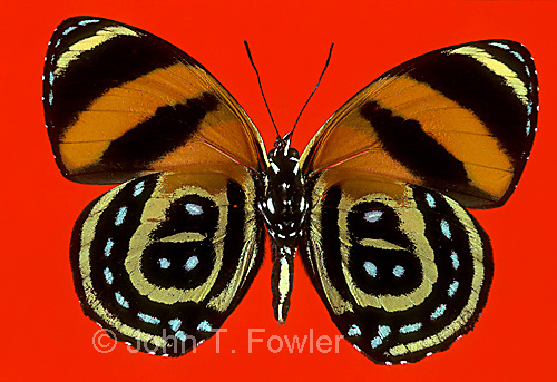 Tropical butterfly Callicore cynosura