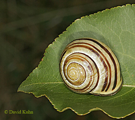 0925-06yy  Land Snail - Sephia hortensis - © David Kuhn/Dwight Kuhn Photography
