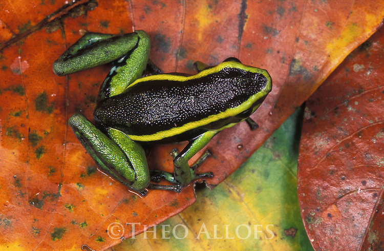 Three-striped poison frog (Epipedobates trivittatus) on dead leaves, Peru, Tambopata River