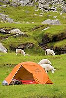 Sheep graze around orange single person tent and campsite at isolated Kvalvika beach, Lofoten islands, Norway