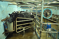 Milking Holstein cows in a milking parlour