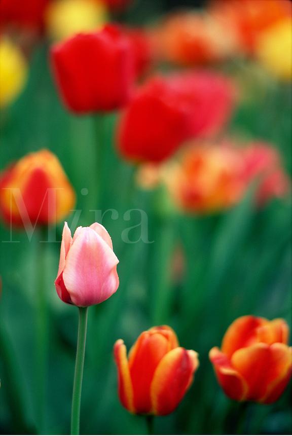 Tulips #6098.