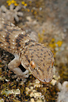 Wall Gecko (Tarentola gomerensis), endemic to La Gomera, Canary Islands