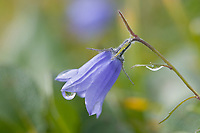 Mountain harebell, tundra, Denali National Park, Alaska