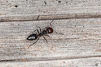 Rotkopfameise, Rotkopf-Ameise, Kippleibameise, Kippleib-Ameise,  Herzgasterameise, Crematogaster scutellaris, Acrobat ant, Mediterranean myrmicine ant