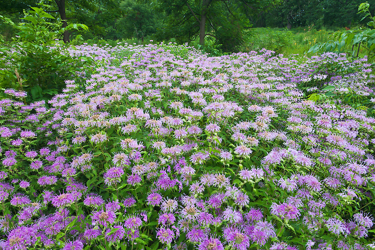 Wild Bergamot (Monarda fistulosa) in summer bloom on the Schulenberg Prairie; The Morton Arboretum, IL