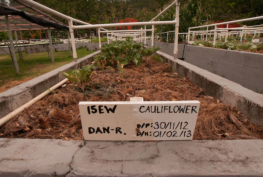 Cauliflower Growing in the Organic Garden, Turtle Island, Yasawa Islands, Fiji