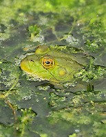 Bull frog peeking through algae on Whitaker Pond in NE Portland, Oregon